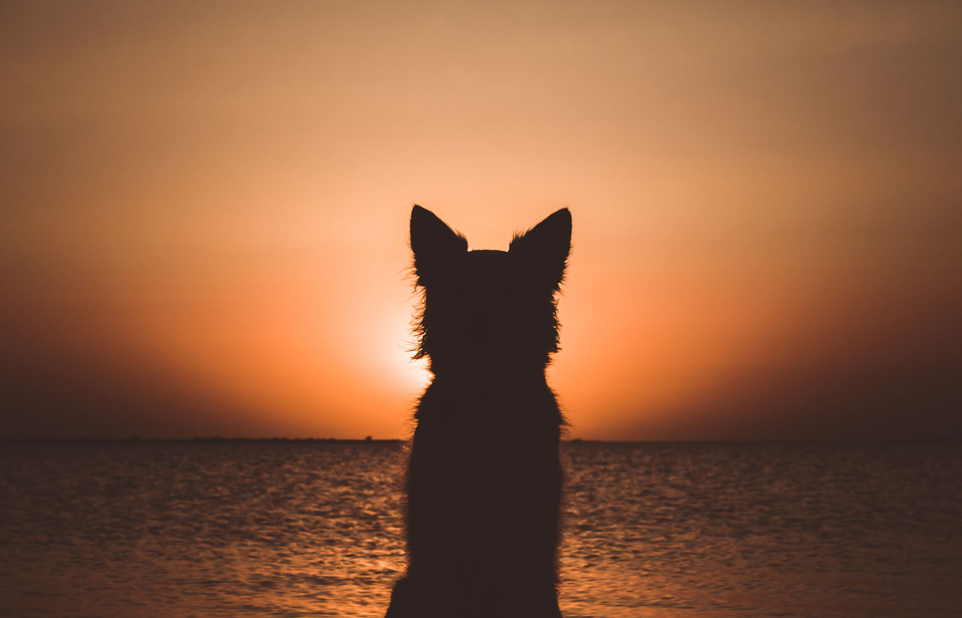 Silhouette of a white berger shepherd dog. Dog sits and looks at beautiful golden sunset (sunrise) near the ocean.